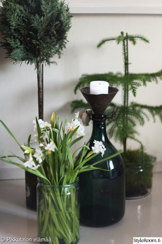 huonekuusi,vanha pullo,maalattu lautalattia,sypressi,ilves-tölkki